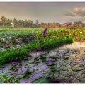 image lotus-farm-jpg